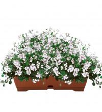Алпийско сакъзче /pelargonium peltatum/ в сандъче Бял