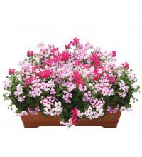 Алпийско сакъзче /pelargonium peltatum/ в сандъче Розов